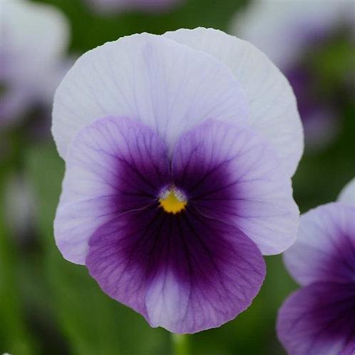 Sorbet Beaconsfield Viola