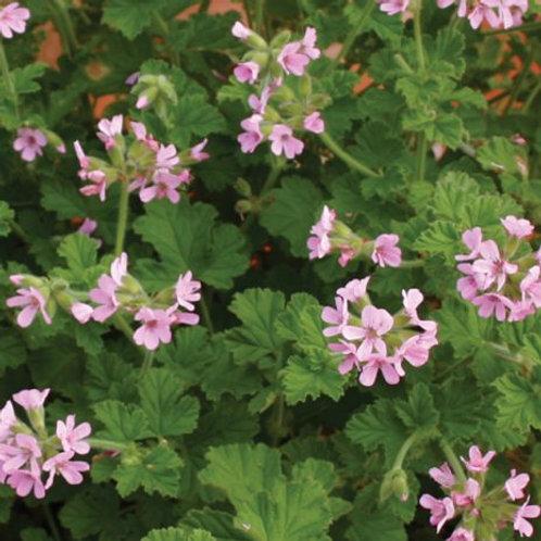 Geranium Aroma Attar of Roses
