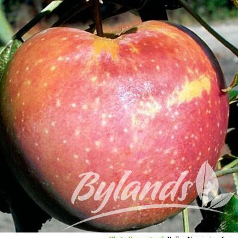 Goodland Apple Tree