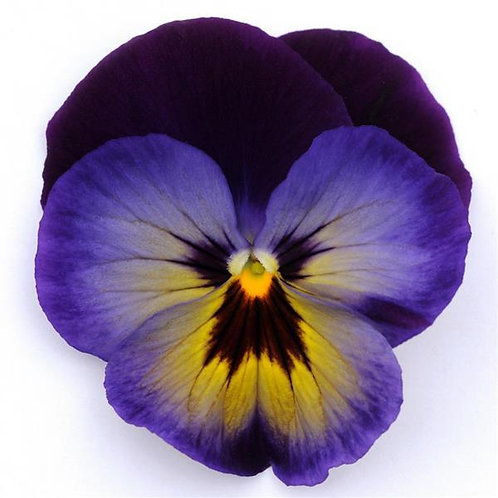 Pansy Spring Matrix Midnight Glow