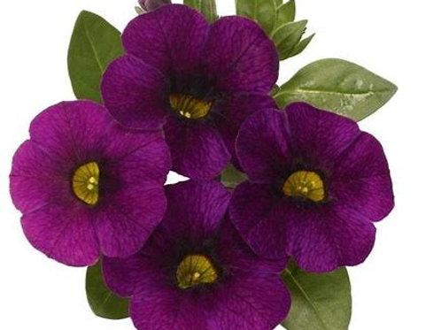 Calibrachoa Bloomtastic Purple