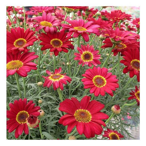 Argyranthemum Grandaisy Red Improved