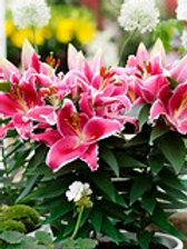 Oriental Pot Lily After Eight