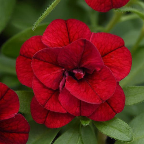 Calibrachoa Minifamous Uno Double Red