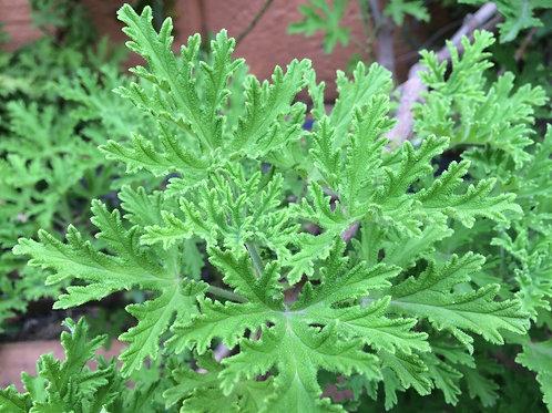 Citronella plant