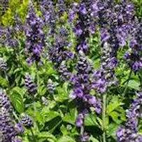 Salvia Mysty