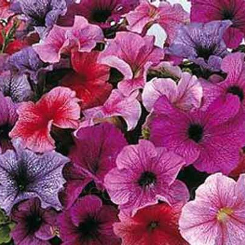 Daddy Mixed Petunia (6 pack)