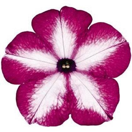 Tye Dye Pink Petunia