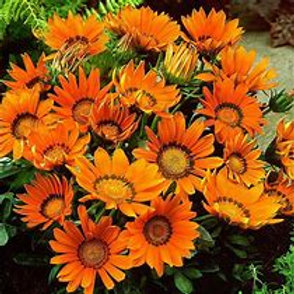 Gazania Kiss Orange