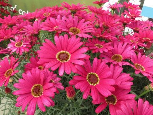 Argyranthemum Grandaisy Dark Pink
