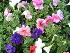 Madness Total Mix Petunias (6 pack)