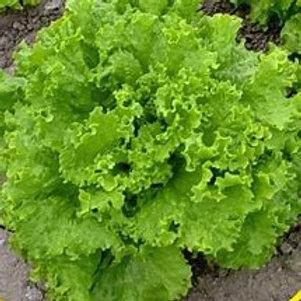Grand Rapids Leaf Lettuce