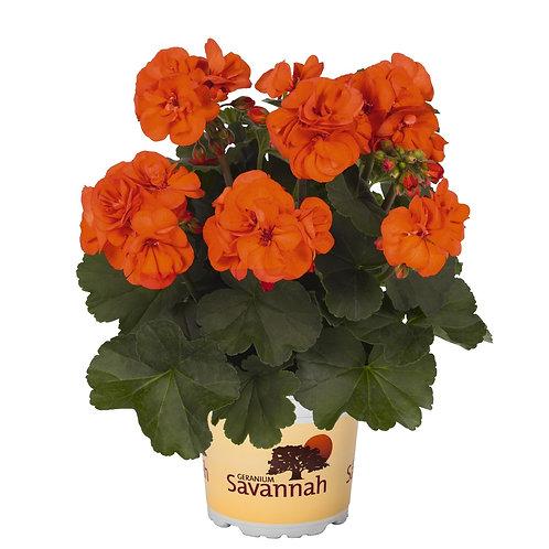 Geranium Zonal Savannah Oh So Orange