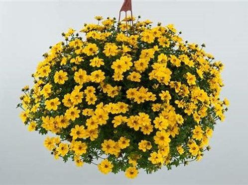 Bidens Yellow Sunshine