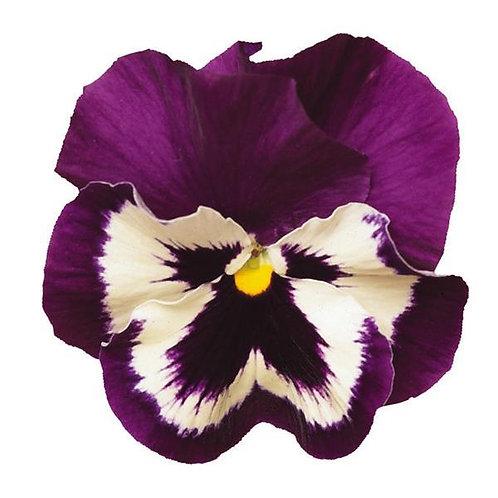 Pansy Spring Matrix Purple And White