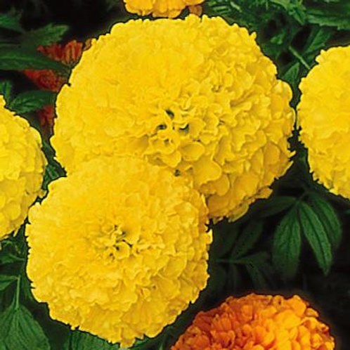 Perfection Yellow Marigold