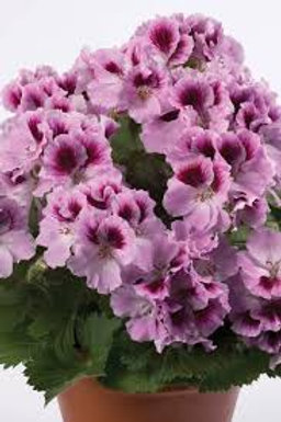 Geranium Regal Aristo Lilac (Martha Washington)