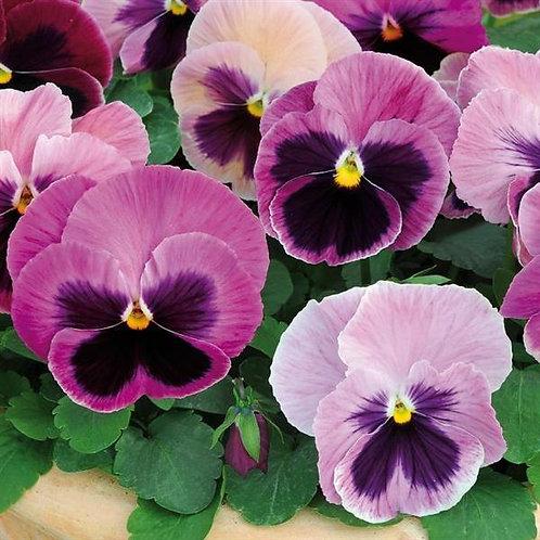 Pansy Spring Matrix Pink Shades