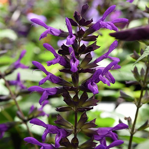 Salvia Purple and Bloom