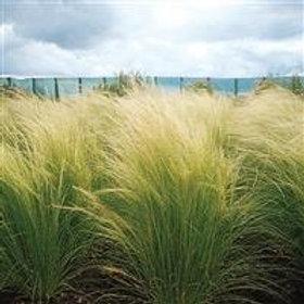 Stipa Pony Tails Grass