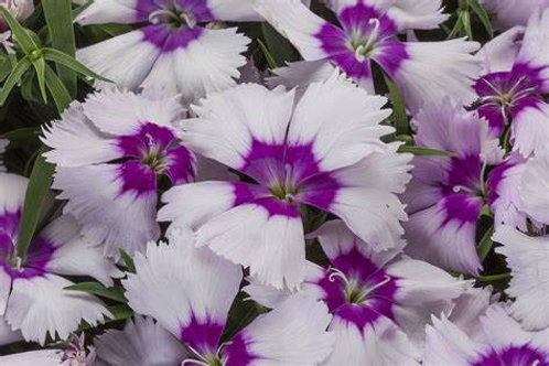 Dianthus Super Parfait Blueberry