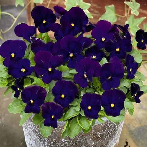Admire Deep Blue Viola