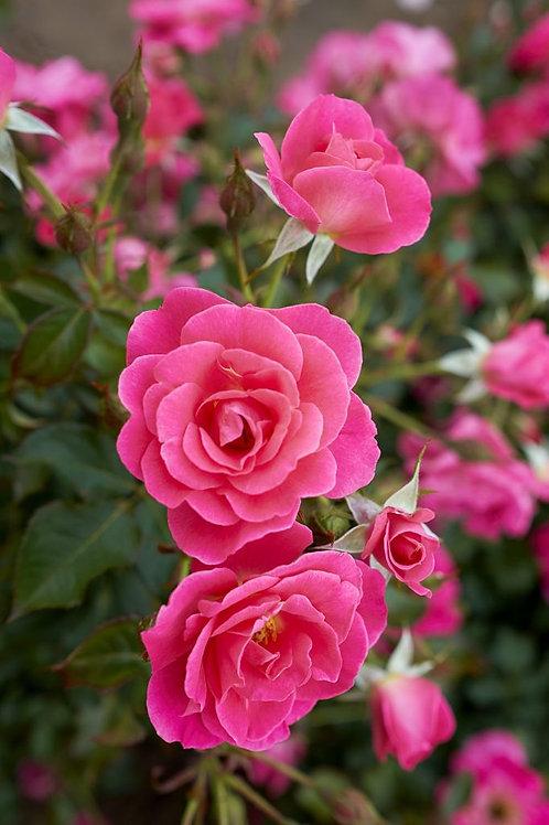 Hardy Rose Aurora Borealis