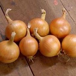 Kelsae Giant Onion (100plants/flat)