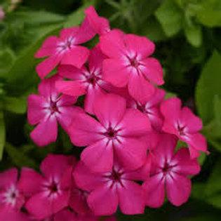 Phlox Giselle Hot Pink