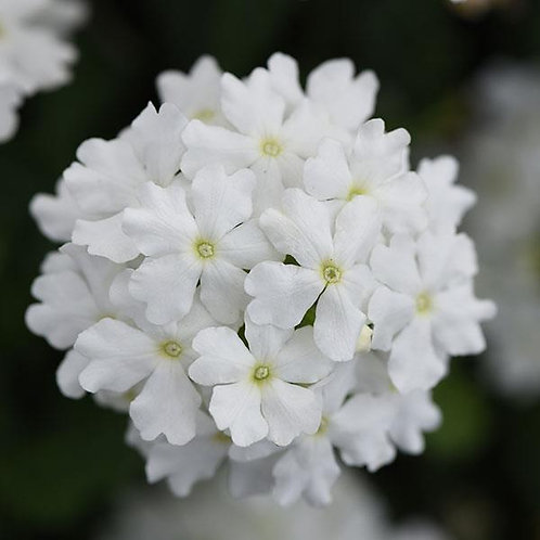 Verbena Firehouse White