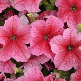 Daddy Strawberry Petunia (6 pack)
