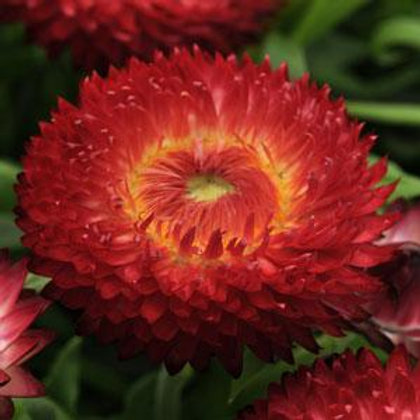 Bracteantha Dreamtime Jumbo Red (Strawflower)