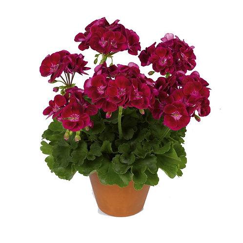 Geranium Zonal Flower Fairy Velvet