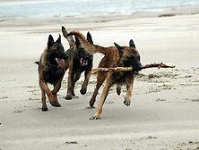 Elevage de chiens De La Noire Alliance