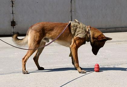 formation chien,mantrailing,detection,recherche,dressage,chien de travail,chien defamille,berger,springer,saint-hubert,malinois,élevage,sauvetage,chien drogue,chien explosif,chien medical alerte,pistage, belgique,Patrick D'Artois