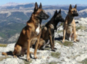 malinois,belgium,breeder,working dog,german sheperd,prok9,detection dog,explo dog,search dogs,rescue dogs,law enforcement dogs