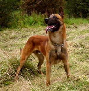chien,berger,berger mainois,berger allemand,détection,recherche,pistage,dressage,springer,working dog,k9,malinois,gsd,training,litter,portée,sauvetage,rescue,élite