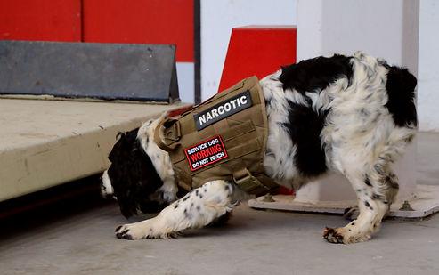 formation chien,mantrailing,detection,recherche,dressage,chien de travail,chien defamille,berger,springer,saint-hubert,malinois,élevage,sauvetage,chien drogue,chien explosif,chien medical alerte,pistage, belgique