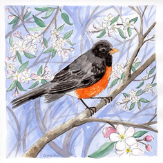 American Robin and Apple Blossom