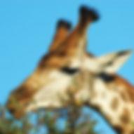 giraffe_kruger_np_1164841.jpg