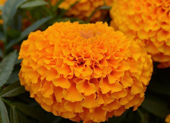 Marigold Marvel Orange