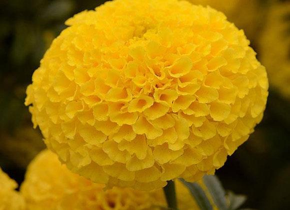 Marigold Taishan Yellow