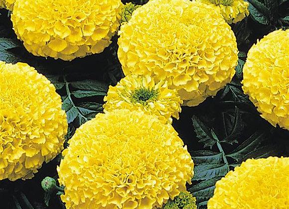 Marigold Marvel Yellow