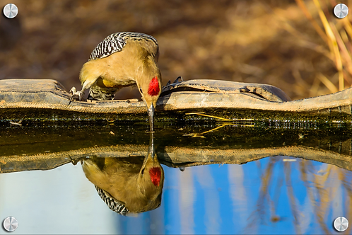 Pájaro carpintero y su reflejo - Montaje en Acrilico