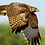 Thumbnail: Aguila en vuelo - Montaje en Acrilico