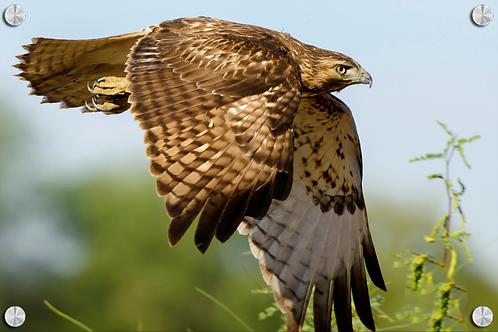 Aguila en vuelo - Montaje en Acrilico