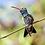 Thumbnail: Colibri pico ancho - Digital montada en Acrilico