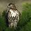 Thumbnail: Aguila cola roja en pino - Montaje en Acrilico