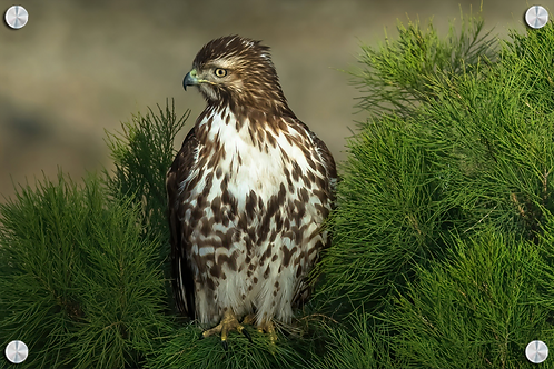 Aguila cola roja en pino - Montaje en Acrilico