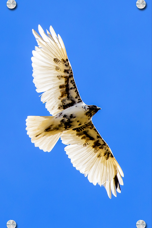 Una ejemplar raro de Aguila cola roja con leucismo parcial - Montaje en Acrilico